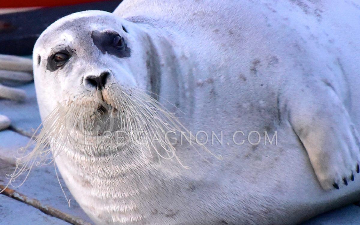 Phoque barbu, Saguenay, Anse de Roche / Photo